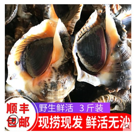 海螺鲜活海鲜水产深海捕捞超大海螺贝类青岛野生新鲜花螺顺丰3斤